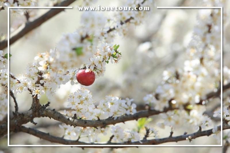 hoa mận mộc châu 4