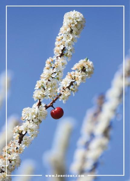 hoa mận mộc châu 2