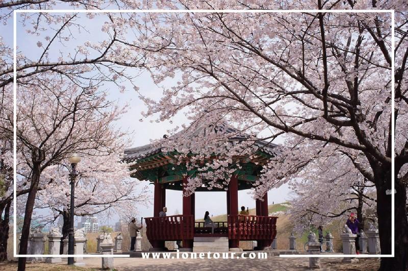 NGẮM HOA ANH ĐÀO – Hàn Quốc 5 ngày 4 đêm bay Jinair/jeju-air