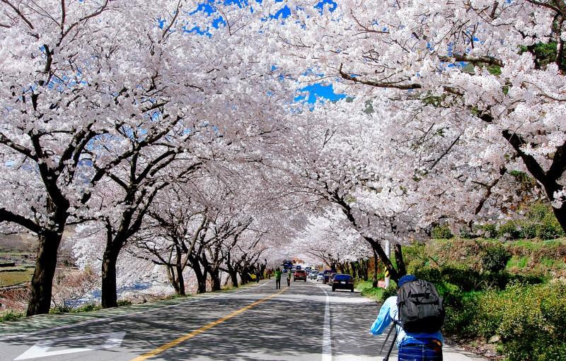 natural-tunnels-cherry-blossom-station-korea